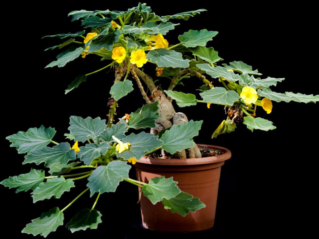 گیاه آنکارینا روزلیانا