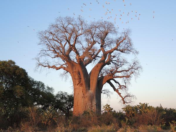 درخت بائوباب زا (آدانسونیا زا)