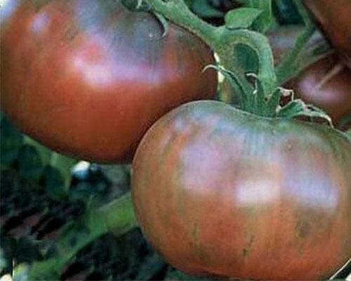 گوجه فرنگی بنفش چروک