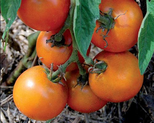 گوجه فرنگی والنسیا