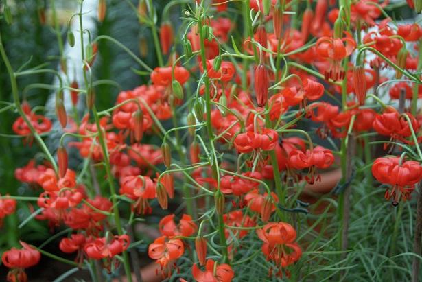 گل لیلیوم پامیلوم