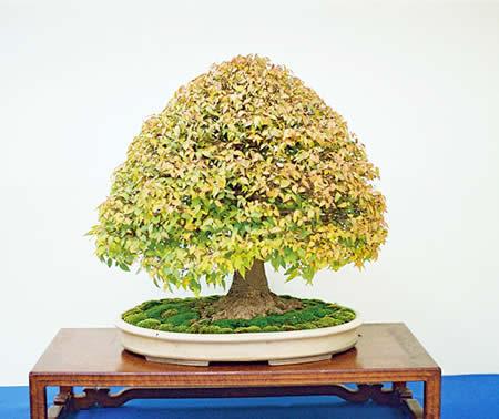 بونسای درخت آزاد