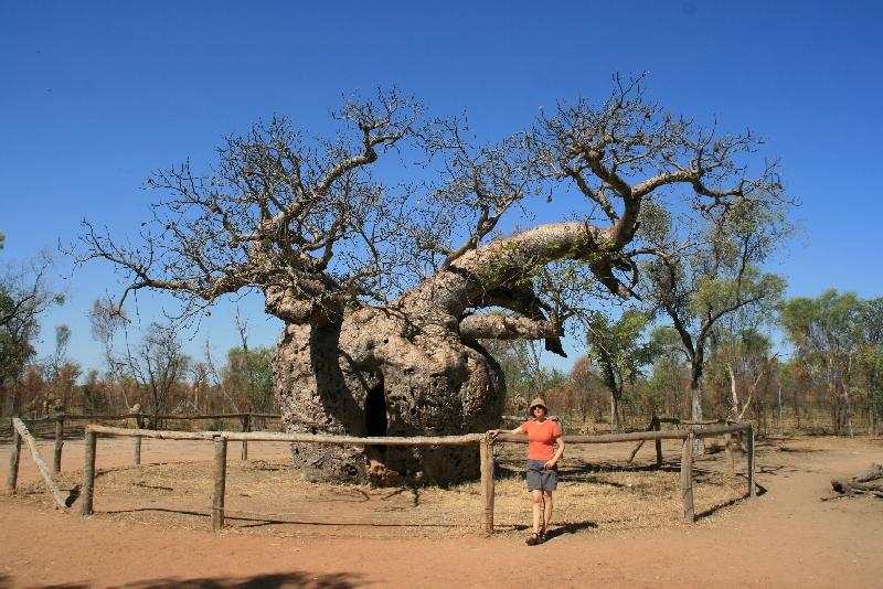 درخت آدانسونیا