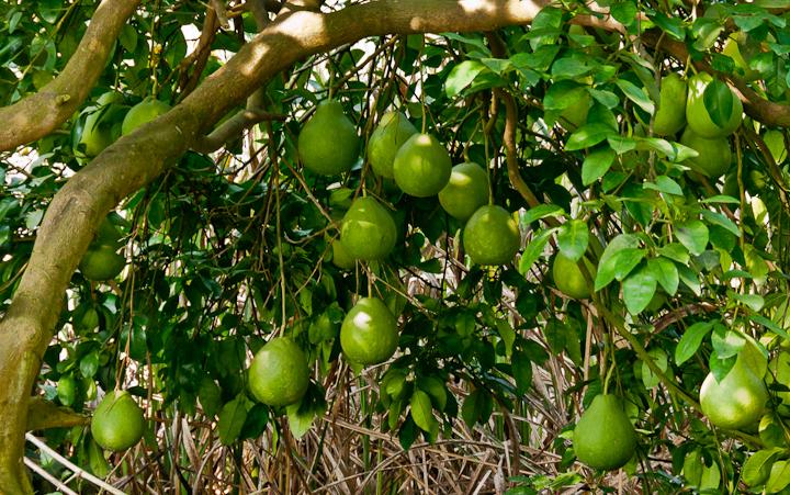 درخت پوملو