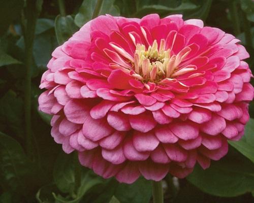 گل آهار بناریس کارمین رز بزرگ