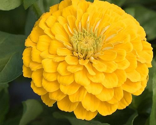 گل آهار کوکب زرد طلایی بزرگ