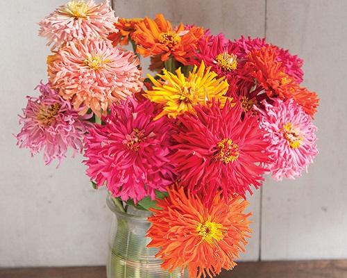 گل آهار کاکتوسی میکس