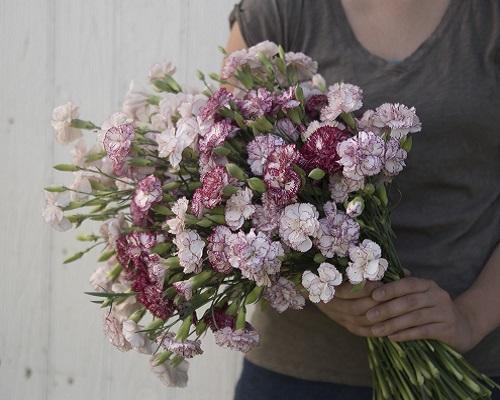 گل میخک چابائود بنیگنا