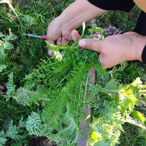 گیاه اناریجه