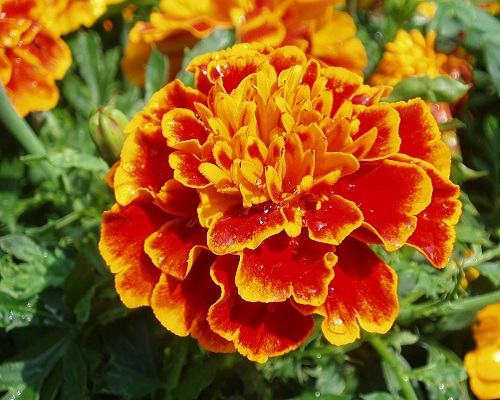 گل جعفری ملکه سوفیا