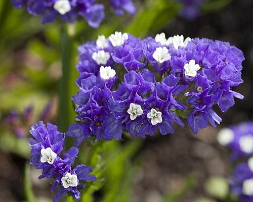گل استاتیس آبی سیکر