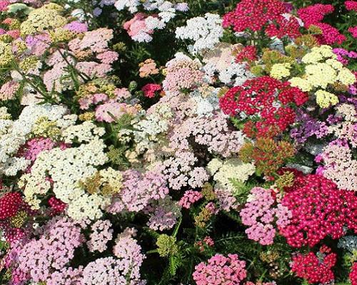 گل بومادران کلرادو میکس