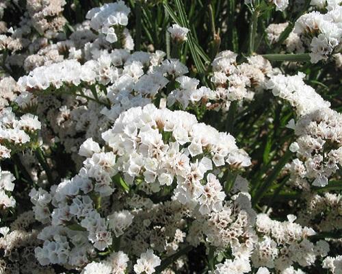 گل استاتیس سفید سیکر