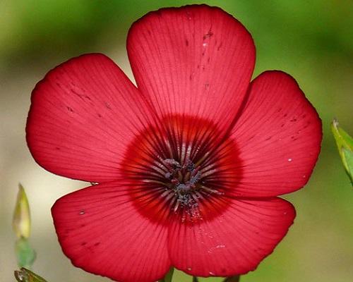 گل فلکس قرمز بزرگ