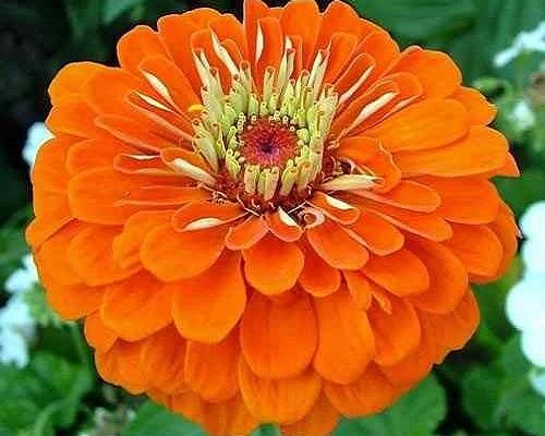 گل آهار کوکب نارنجی بزرگ