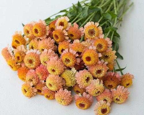 گل آهار زیندرلا هلویی