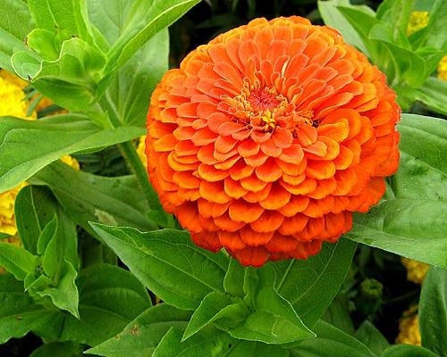 گل آهار بناریس نارنجی بزرگ