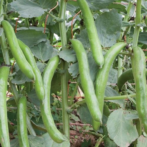 بذر باقلا سبز 'Superaguadulce'
