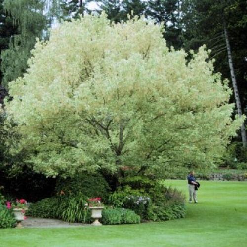 درخت افرا سیاه