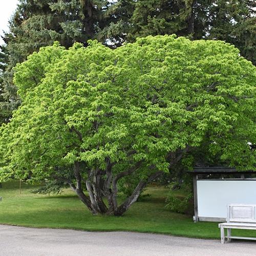 درخت افرا آمور