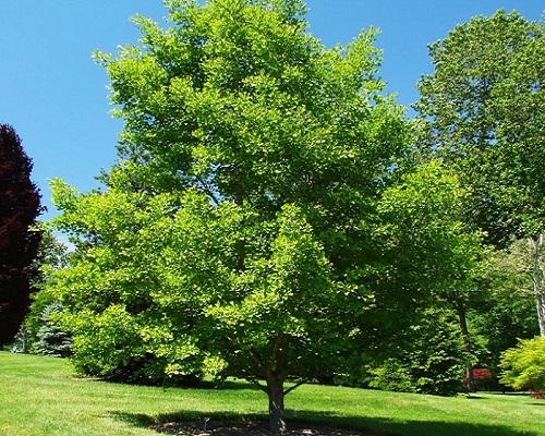 درخت ژینکو