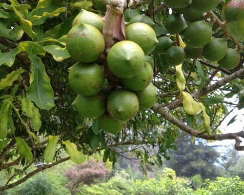 درخت ماکادمیا