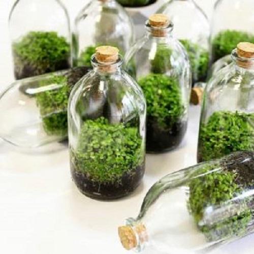 گیاه آبزی مونت کارلو
