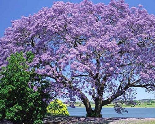 درخت پالونیا فروتونی