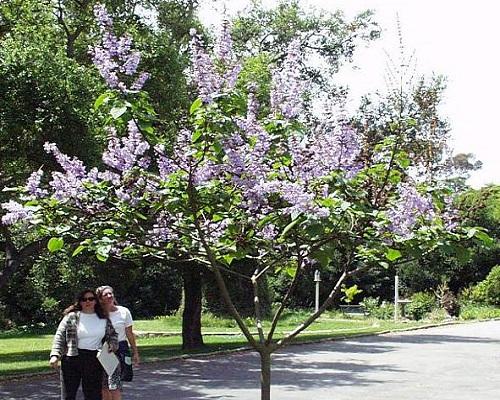 درخت پالونیا کاواکامی