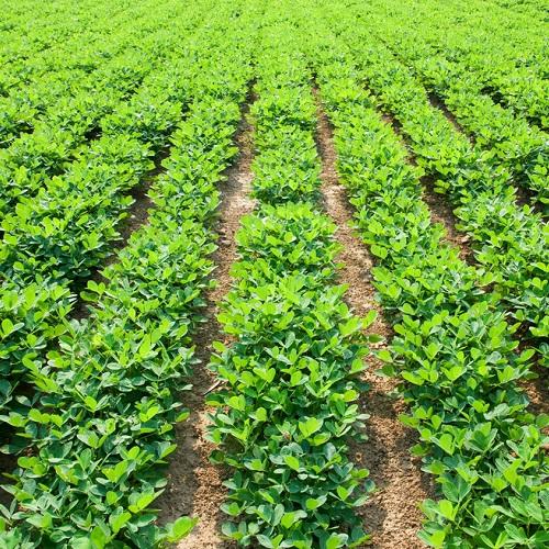 مزرعه بادام زمینی