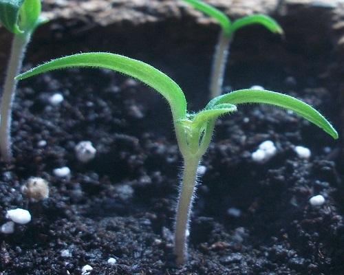 جوانه زنی بذر گوجه