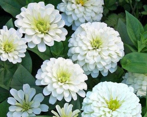 گل آهار کوکب سفید بزرگ