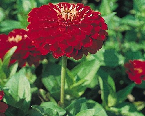 گل آهار کوکب قرمز بزرگ
