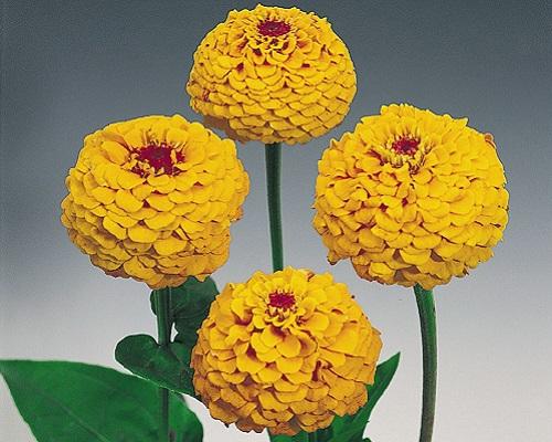 گل آهار اوکلاهما زرد طلایی