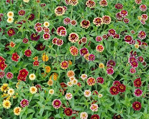 گل آهار جیزی میکس