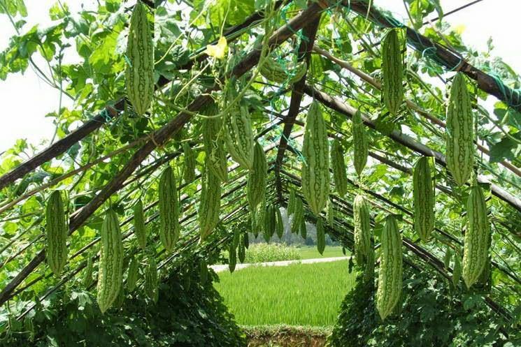 گیاه بیتر ملون