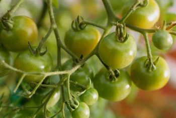 چگونگی رشد گوجه فرنگی