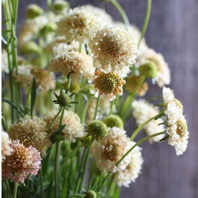 گل طوسک