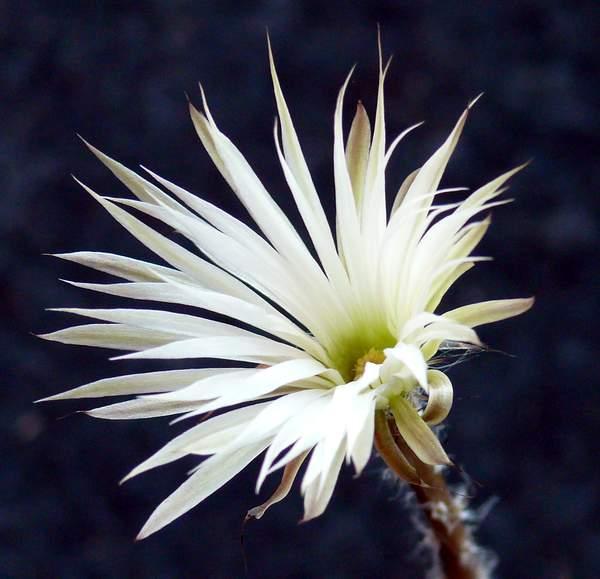 setiechinopsis mirabilis