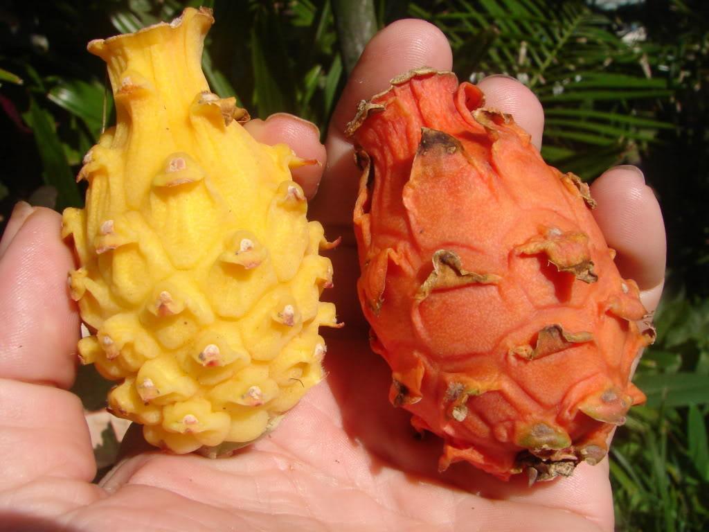 میوه اژدها نارنجی