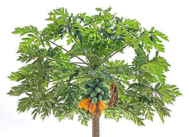درخت پاپایا