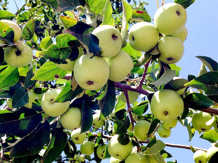 سیب ترش جنگلی