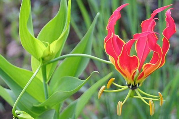 گل سوسن آتش