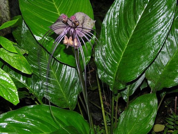 گل خفاش سیاه