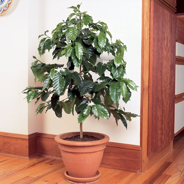 گیاه قهوه عربیکا در گلدان