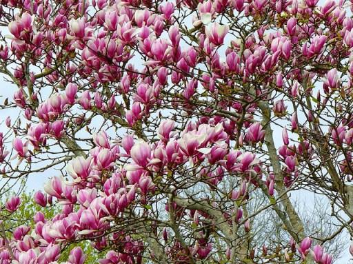 درخت مگنولیای جنوبی