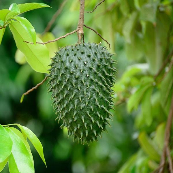 میوه سورسوپ