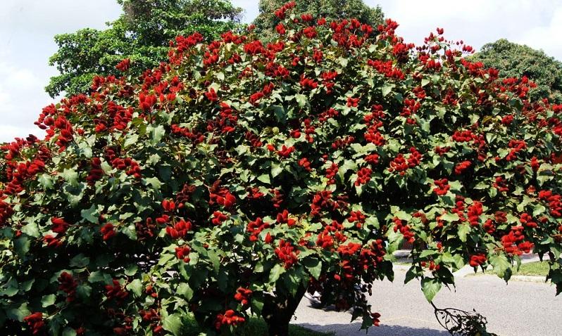 درخت رامبوتان کاری