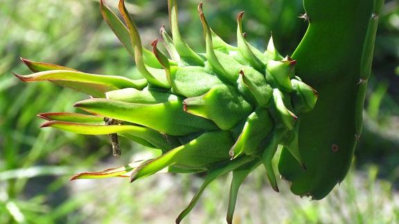 میوه اژدها سبز