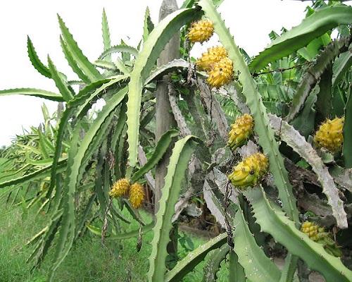 میوه اژدها زرد خاردار
